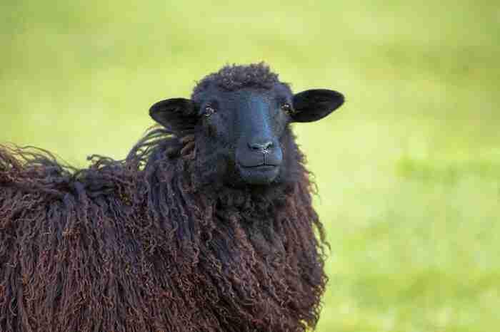 Unseriöse Kreditvermittlung: ein schwarzes Schaf auf einer Wiese